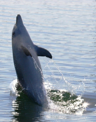tailwalking dolphin