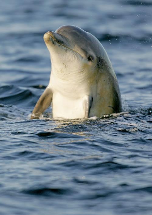bottlenose dolphin spyhopping