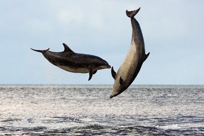 © WDCS/Charlie Phillips - Bottlenose dolphin