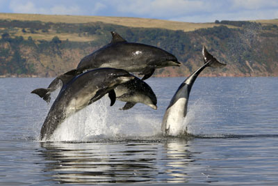 Group of bottlenose dolphins
