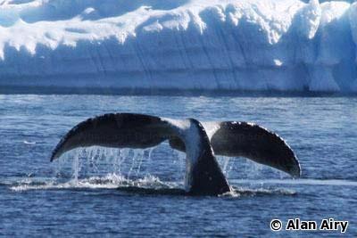 bowhead whale diving