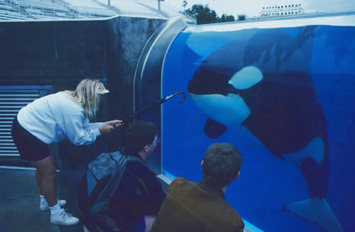 Image of orcas in captivity