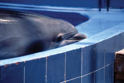 captive bottlenose dolphin