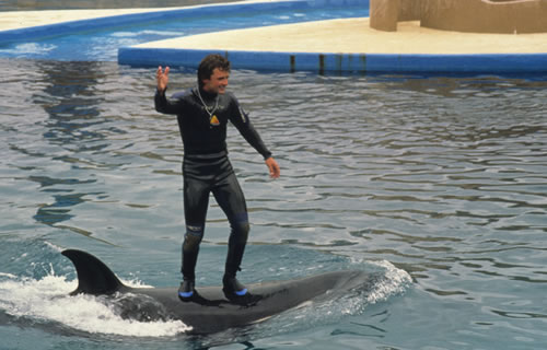 Trainer standing on back of dolphin