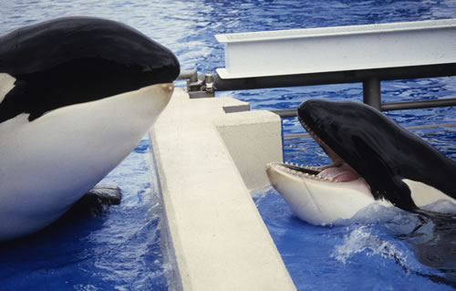 orca in captivity