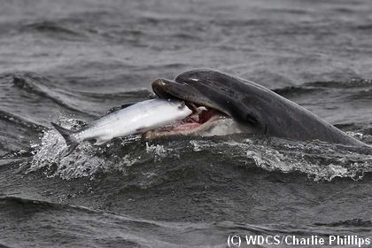Moonlight the bottlenose dolphin eating a salmon