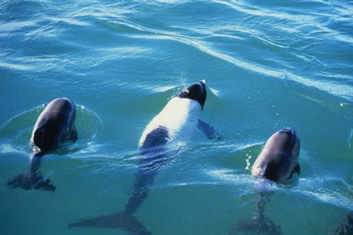 Commerson's dolphin and calves
