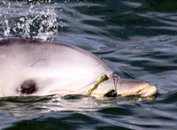 entangled dolphin