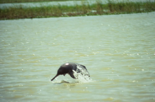 Ganges river dolphin � Brian Smith