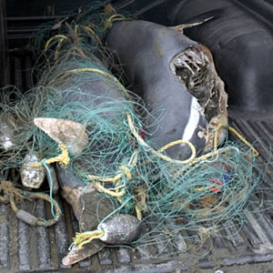 Hector's dolphins caught in nets