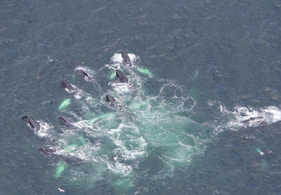 feeding humpbacks