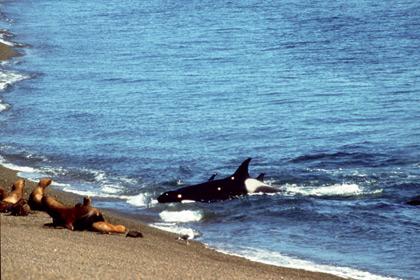 Orca Frisst Mensch Am Strand
