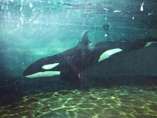 Morgan in captivity