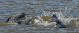Amazon river dolphins � Fernando Trujillo