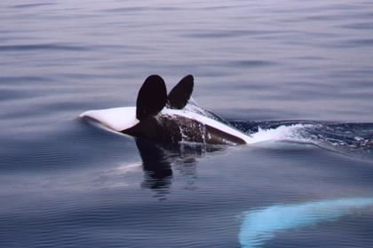 Orcas sind nicht gern allein! Foto: WDCS