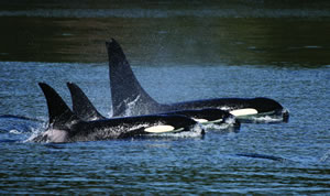 orca, the world's largest dolphin