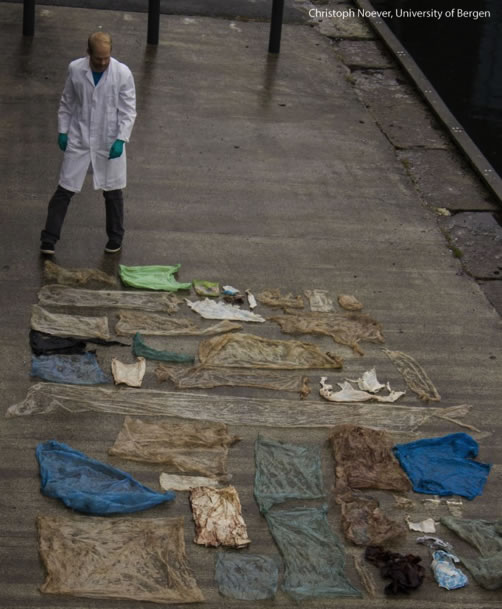 Plastic bags found in a beaked whale