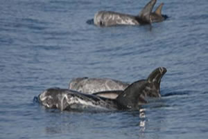 group of Risso's dolphins