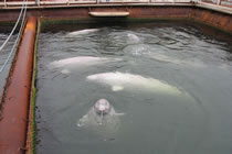 Beluga whales in captivity