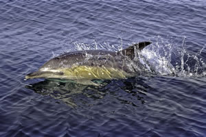 WDCS International - Shorewatch - Common dolphin