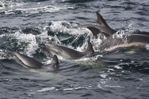 Common dolphin group