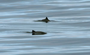 bottlenose dolphin group