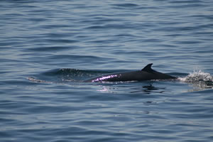 Minke whale at surface